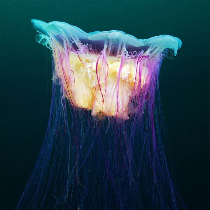 Showcasing-Outstanding-Jellyfish-Photography-by-Alexander-Semenov_05-@-GenCept
