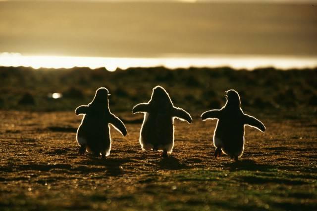 пингвины - фото пингвинят