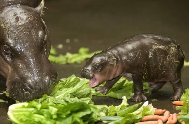 маленький бегемотик кушает