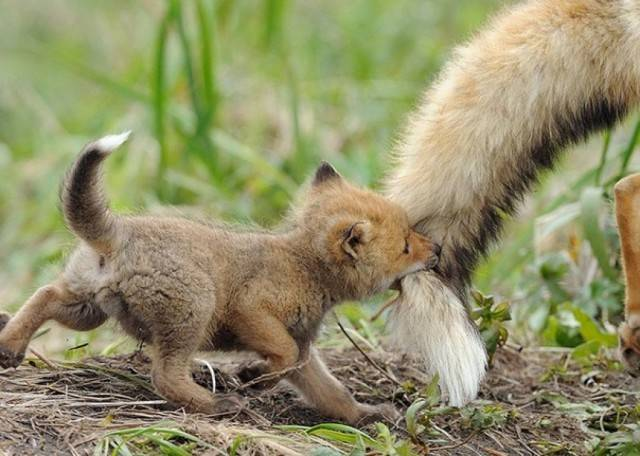 Лисенок идет за хвостом мамы