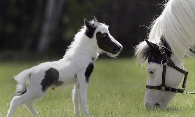 пони или маленькая лошадка