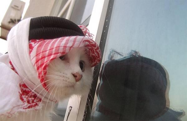 43-arab-cat