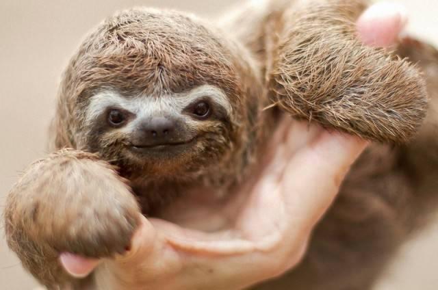 малыш ленивца