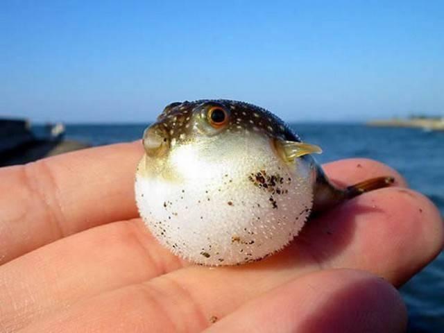 смешная круглая рыбка или рыба еж